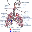 lungs and pulmonary system