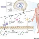 The interplay between the intestinal microbiota and the brain (Credit: Stephen M. Collins et al, Nat