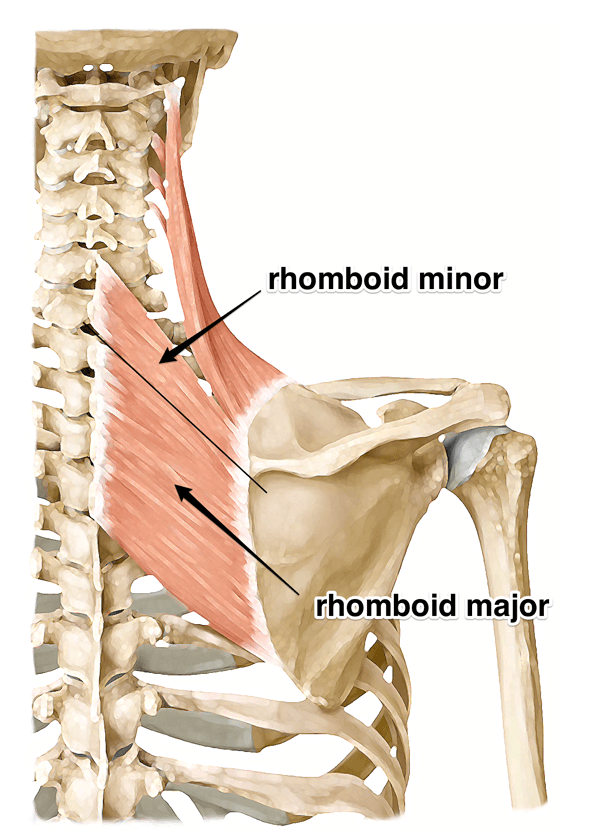 Rhomboid Major and Rhomboid Minor:  Learn Your Muscles
