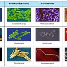 bacterial cell morphology and arrangement - Google Search