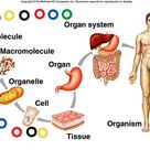 Various levels of organization within the body