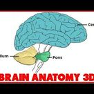 Anatomy of The Cerebellum - Structure - Position Part 1