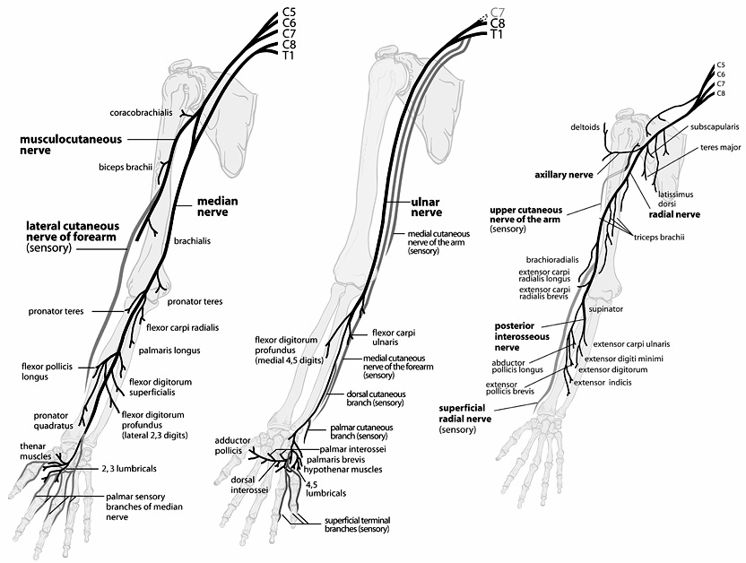 Peripheral Nerves of the Upper Extremity