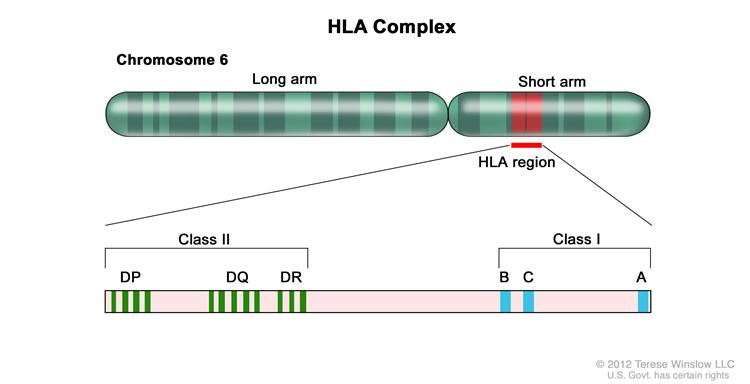 Human lymphocyte antigen (HLA) complex; drawing shows the long and short arms of human chromosome 6