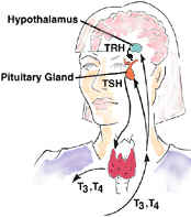 WK 1 THYROID The thyroid gland is under the control of the pituitary gland, a small gland the size o