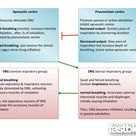 The respiratory centres and breathing