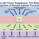 The p53 gene and cancer development