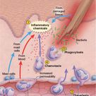 When a tissue is injured, defensive leukocytes immediately arrive via hyperemia, which is the increa