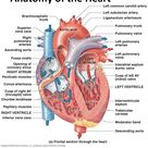 Human Heart: Diagram and Anatomy of the Heart - internal anatomy of the heart