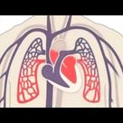 Human Heart - How Your Heart Works