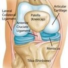 Knee joint anatomy diagram showing the bones, cartilage and ligaments