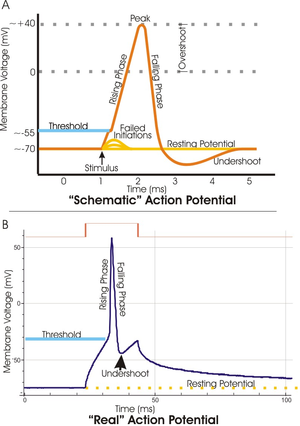 A. view of an idealized action potential shows its various phases