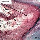 Meissner's Corpuscle