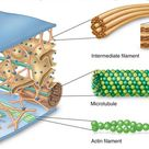 The cytoskeleton is a complex, dynamic network of interlinking protein filaments present in the cyto