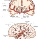 Blood Supply of the Central Nervous System (Gross Anatomy of the Brain) Part 1