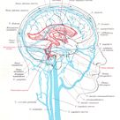 Ventricles veins