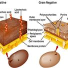 Gram negative and positive cells---This diagram displays both gram negative and gram positive cells