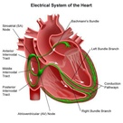 Conduction System of the Heart.