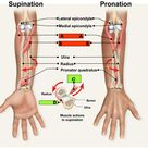supination.pronation