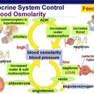 Endocrine System Control Feedback Blood Osmolarity ADH (Anti-Diuretic Hormone) and Angiotensin