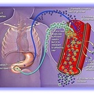Cellular Physiology: stomach converts food into glucose & circulates into the blood