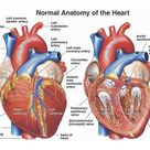 Normal Anatomy of the Human Heart Nucleus Medical Art