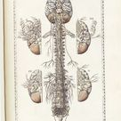Tabulae anatomicae.- Bartholomeo Eustachi, 1783  #anatomy #medical #medicine #illustration #brain #n