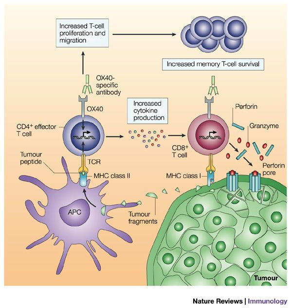 Therapeutic targeting of the effector T-cell co-stimulatory molecule OX40