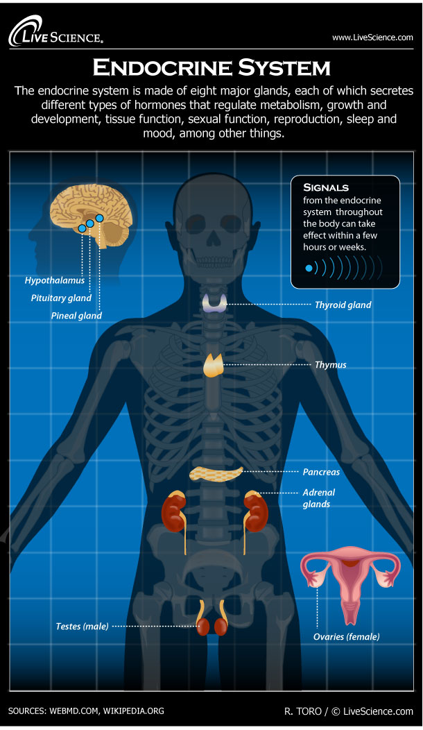 Diagram of the Human Endocrine System