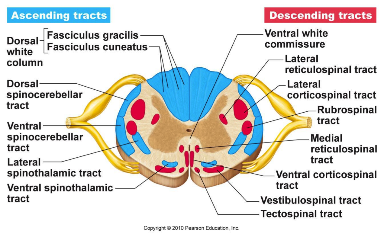 The spinal cord cross section