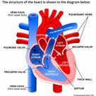 An electrophysiology study (EPS) is a diagnostic procedure performed by a specialized cardiologist,