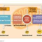 Image result for glycolysis and pyruvate oxidation