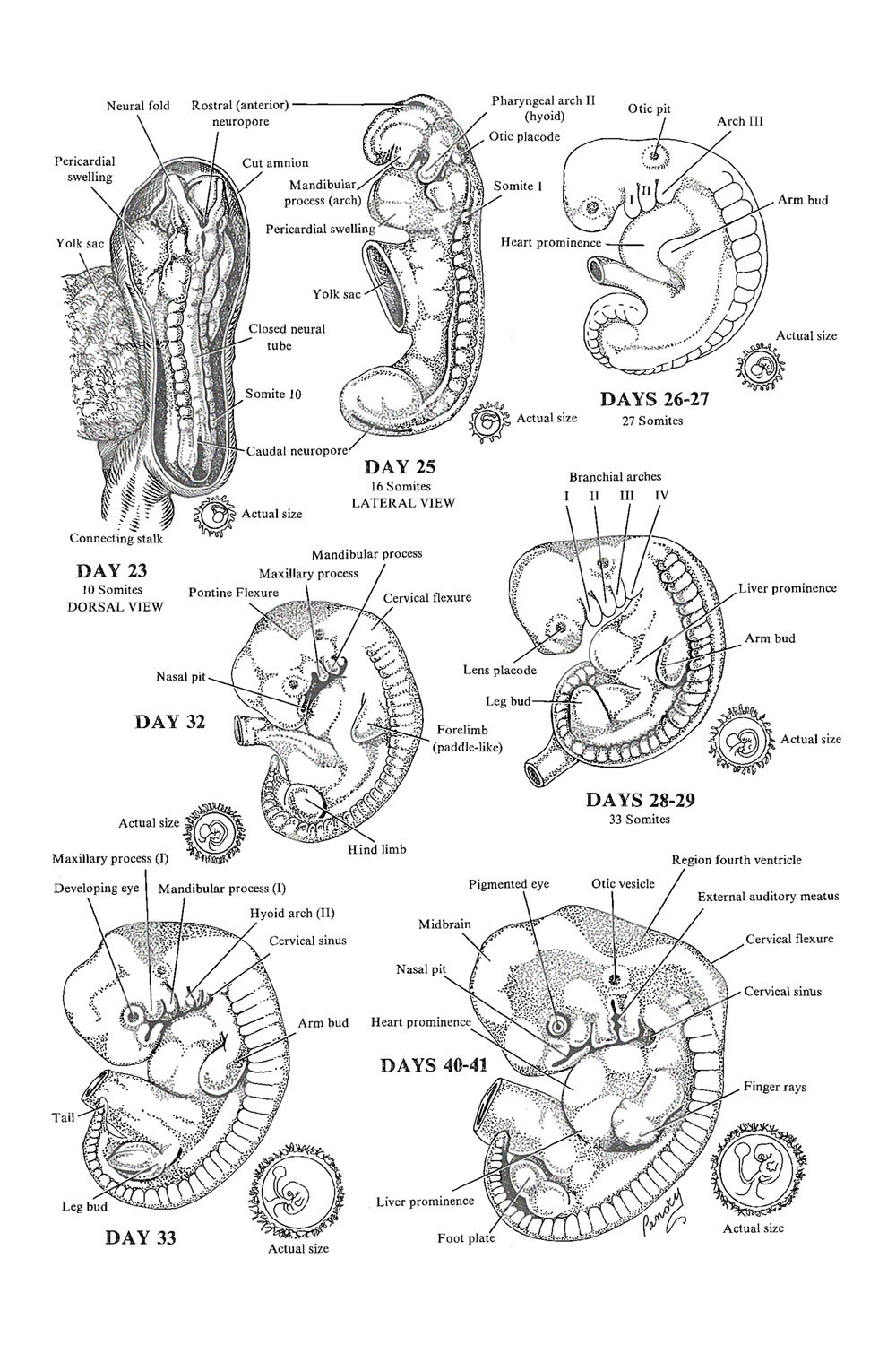 Weeks 4 to 6 of development - The embryonic period