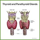 The major endocrine organs of the body include the pituitary, thyroid, parathyroid, adrenal, pineal