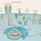 How bacteria gets into a cell