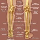 human leg and foot skeleton image | ... Lateral Meniscus Foot Anatomy Foot?