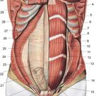 Lower Abdominal Muscles Diagram