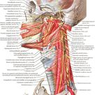 Nerves of Oral and Pharyngeal Regions diagram