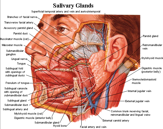 Salivary glands of the digestive system and their functions. Topics include parotid, submandibular,