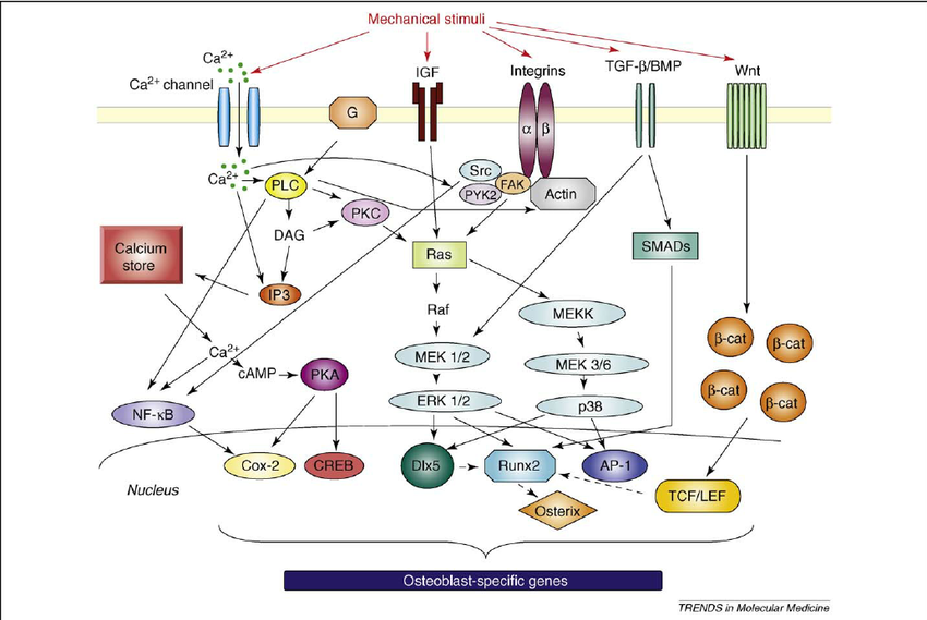 Schematic diagram of interactions of different signaling pathways during mechanical
