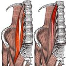 psoas, iliopsoas, anatomy for athletes, hip flexors, hip flexor muscles by Edward Jenner
