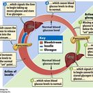 Action of Insulin