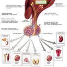 Hypothalamic-pituitary axis and affected organs