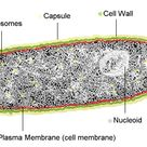 During cellular respiration, prokaryotes pump protons from the cytoplasm to the extracellular space