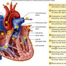 Step Of Blood Flow Through The Heart Heart Blood Flow Diagram Hd M