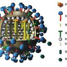 3D Modell Influenzavirus Structure of swine influenza virus showing different type of antigens prese