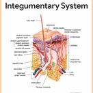 Integumentary System-Integumentary System Anatomy and Physiology for Nurses