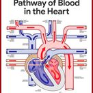 Pathway of Blood in the Heart    Cardiovascular System Anatomy and Physiology Study Guide for Nurses