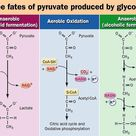 Three fates of pyruvate produced by glycolysis