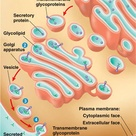 Exocytosis is a form of active transport and bulk transport in which a cell transports molecules